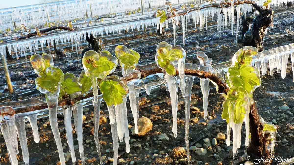Frosts in vineyard