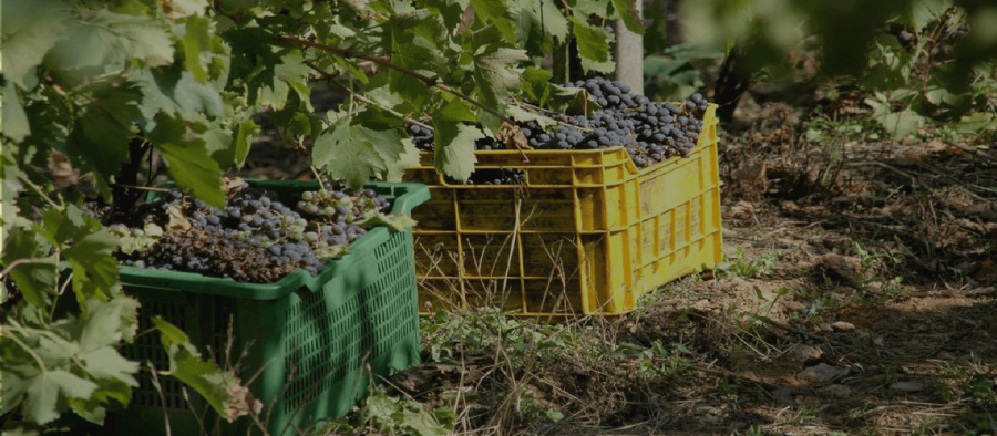 Photo for: GrapeConnect: Connecting Buyers & Sellers Of Wine Grapes